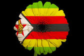 Gerbera daisy flower in colors national flag of zimbabwe on — Stock Photo