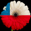 Stock Photo: Gerberdaisy flower in colors national flag of chile on bla
