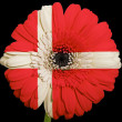 Gerbera daisy flower in colors  national flag of denmark    on b — Stock Photo
