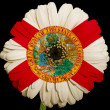 Stock Photo: Gerberdaisy flower in colors flag of americstate of florid