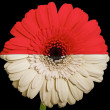 Gerbera daisy flower in colors  national flag of indonesia    on — Stock Photo