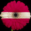 Gerbera daisy flower in colors  national flag of latvia    on bl — Stock Photo