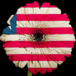 Gerbera daisy flower in colors  national flag of liberia    on b — Stock Photo