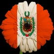 Stock Photo: Gerberdaisy flower in colors national flag of peru on blac
