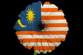 Gerbera daisy flower in colors national flag of malaysia on — Stock Photo