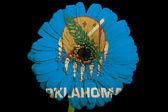 Flor de la margarita de gerbera en bandera de colores del estado americano de oklaho — Foto de Stock