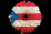 Gerbera daisy flower in colors national flag of puertorico o — Stock Photo