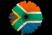Gerbera daisy flower in colors national flag of south africa — Stock Photo