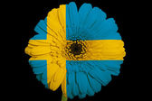 Gerbera daisy flower in colors national flag of sweden on bl — Stock Photo