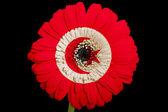 Flor de la margarita de gerbera en bandera nacional colores de túnez en b — Foto de Stock