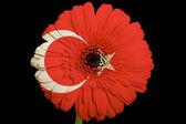 Gerbera stokrotka kwiat w kolorach flagi narodowej turcji na bl — Zdjęcie stockowe