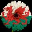 Gerbera daisy flower in colors  national flag of wales    on bla — Stock Photo
