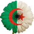 Royalty-Free Stock Photo: Gerbera daisy flower in colors national flag of algeria   on whi