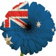 Gerbera daisy flower in colors national flag of australia   on w - 图库照片