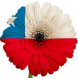 Gerbera daisy flower in colors national flag of chile on white — Stock Photo #24813571
