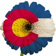 Gerbera daisy flower in colors flag of american state of colorad — Stock Photo