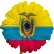 Gerbera daisy flower in colors national flag of ecuador   on whi — Stock Photo