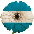 Gerbera daisy flower in colors national flag of el salvador   on - Stock Photo