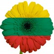Gerbera daisy flower in colors national flag of lithuania   on w — Stock Photo