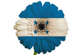Gerbera daisy flower in colors national flag of honduras on wh — Stock Photo