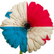 Stock Photo: Gerberdaisy flower in colors national flag of panamon whit