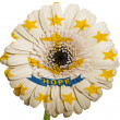 Gerbera daisy flower in colors flag of american state of rhode i — Stock Photo