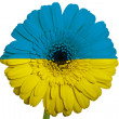 Gerbera daisy flower in colors national flag of ukraine   on whi — Stock Photo