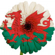 Gerbera daisy flower in colors national flag of wales on white — Stock Photo