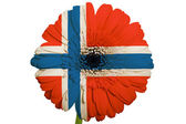Gerbera daisy flower in colors national flag of norway on whit — Stock Photo