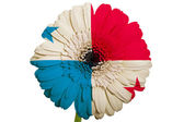 Gerbera daisy flower in colors national flag of panama on whit — Stock Photo