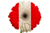 Gerbera daisy flower in colors national flag of peru on white — Stock Photo