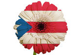 Gerbera daisy flower in colors national flag of puertorico on — Stock Photo