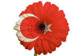 Gerbera daisy flower in colors national flag of turkey on whit — Stock Photo