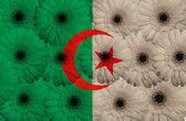 Bandera nacional estilizada de argelia con flores gerbera — Foto de Stock