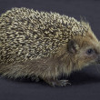 Hedgehog in dark back — Stock Photo