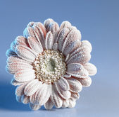 Iced gerbera flower — Stock Photo