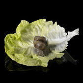 Grapevine snail on fresh green lettuce leaf — Stock Photo