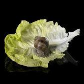 Grapevine snail on fresh green lettuce leaf — Stock Photo