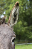 Detail of donkey with huge ear — Stock Photo
