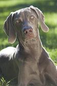 Weimaraner hund på gräs i solsken — Stockfoto