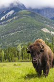 American Bison or Buffalo — Stock Photo