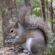 Gray Squirrel Eating Peanut — Stock Photo #38622519