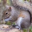 Gray Squirrel Eating Peanut — Stock Photo #38622521