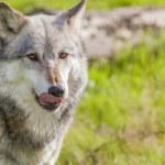 Male North American Gray Wolf — ストック写真
