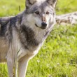 North American Gray Wolf — Foto de Stock