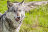 Male North American Gray Wolf — Stock Photo