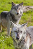 North American Gray Wolves — Stock Photo
