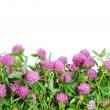 Stock Photo: Red clover flower. White background