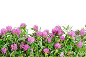 Red clover flower. White background — Stock Photo