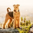 Airedale terrier — Stock Photo #10208941